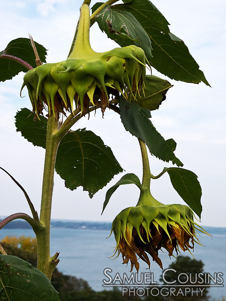 Sunflowers growing on the Eastern Prom.
