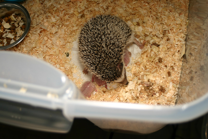 Litter - Capsaicin and Ackley (04/26/2004)  Newborn: ~33 hours old.  Filename reference: 20040427-002706-HAH-Hedgehog_Babies