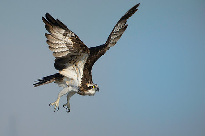 Ospreys jan 2014