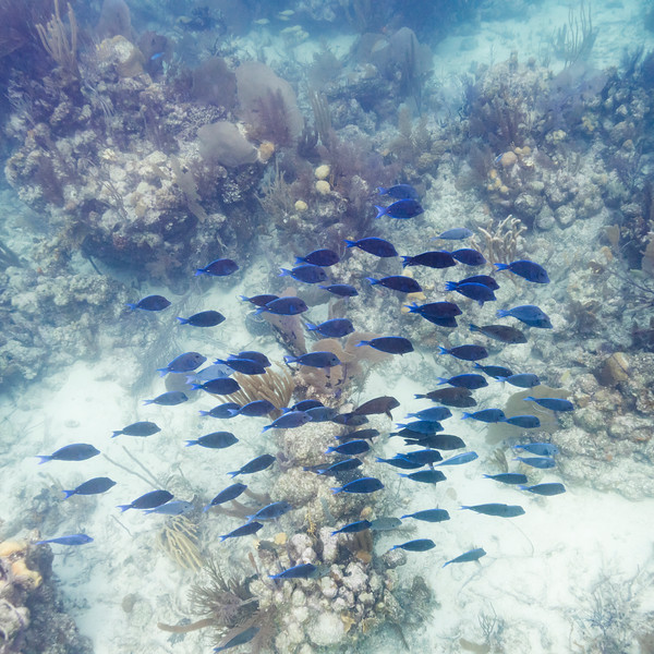 Fish and corals underwater, Turneffe Atoll, Belize Barrier Reef, Belize
