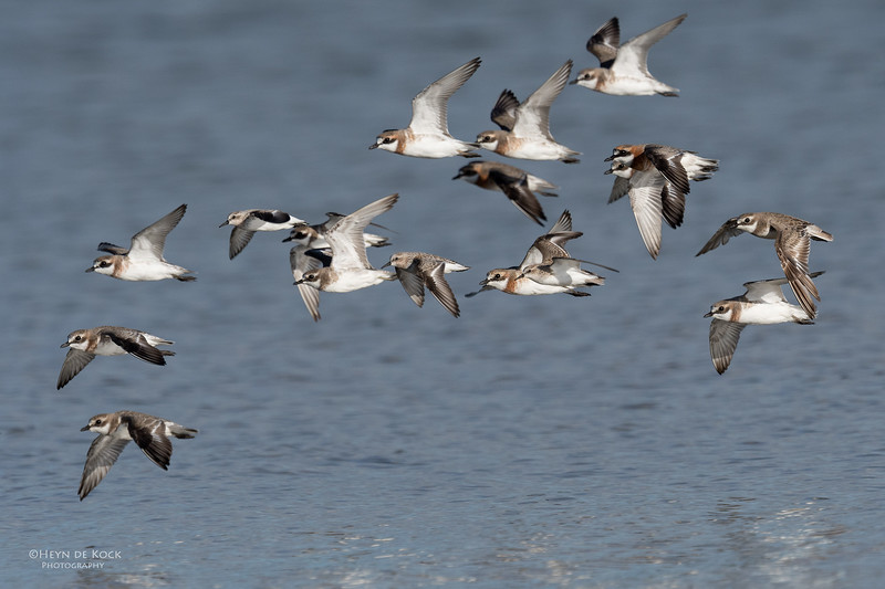 Lesser Sand Plovers, Boonooroo, QLD, March 2017-1.jpg