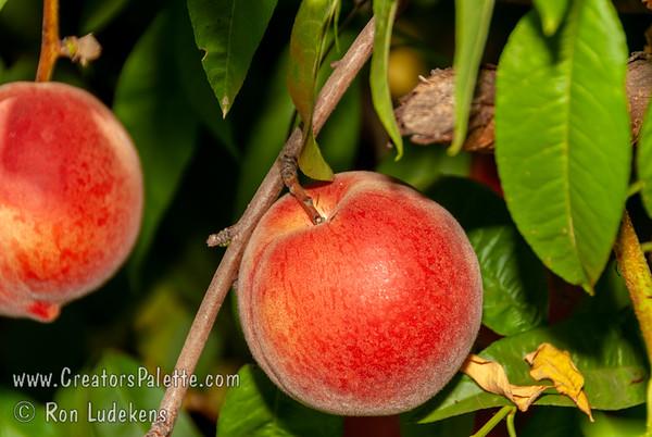 Nectar Peach - Prunus persica sp.