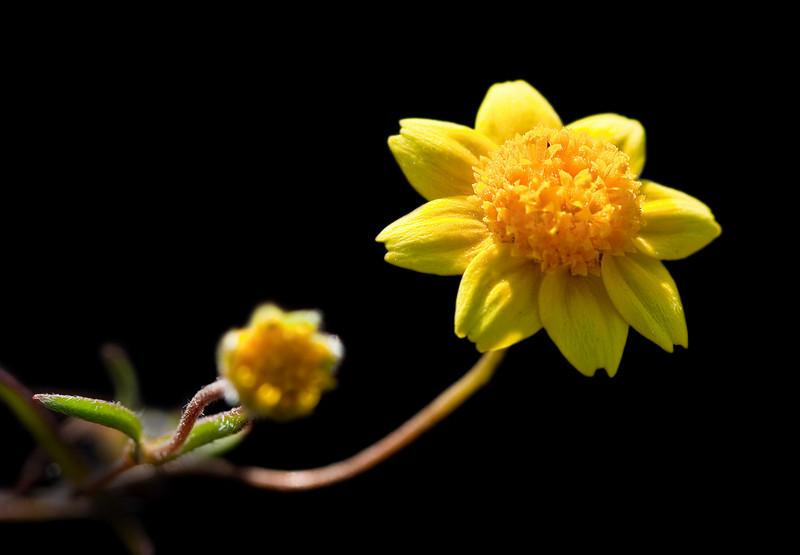 Goldfields Wildflower