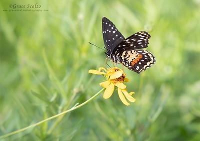 Crimson Patch Butterflies