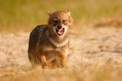 Eurasian golden jackal (Chacal dorado europeo)