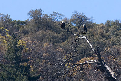 Bald Eagles in Southern California