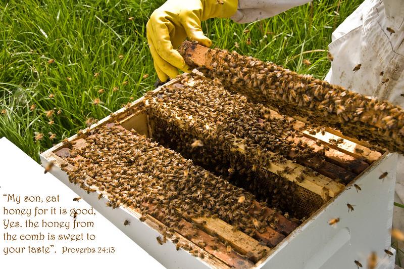Bee farm Iowa bee bunch.jpg