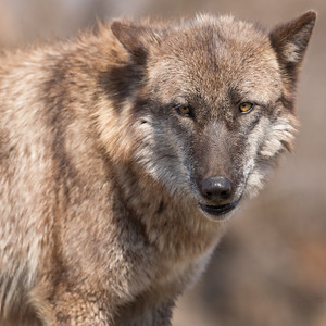Wolf Park March 13