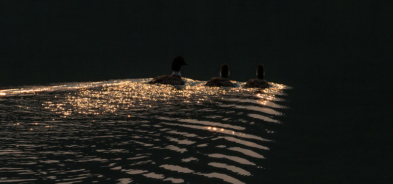 Goldeneyes on Golden Pond