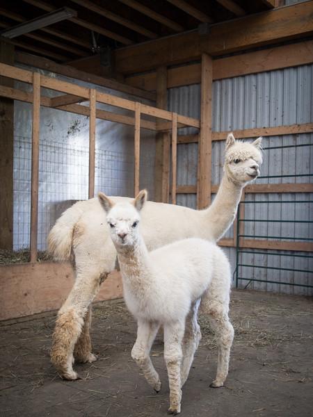alpaca mom and baby 2.jpg