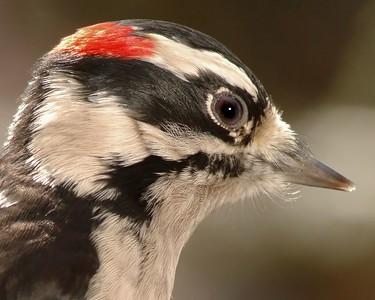 Woodpeckers & Flickers