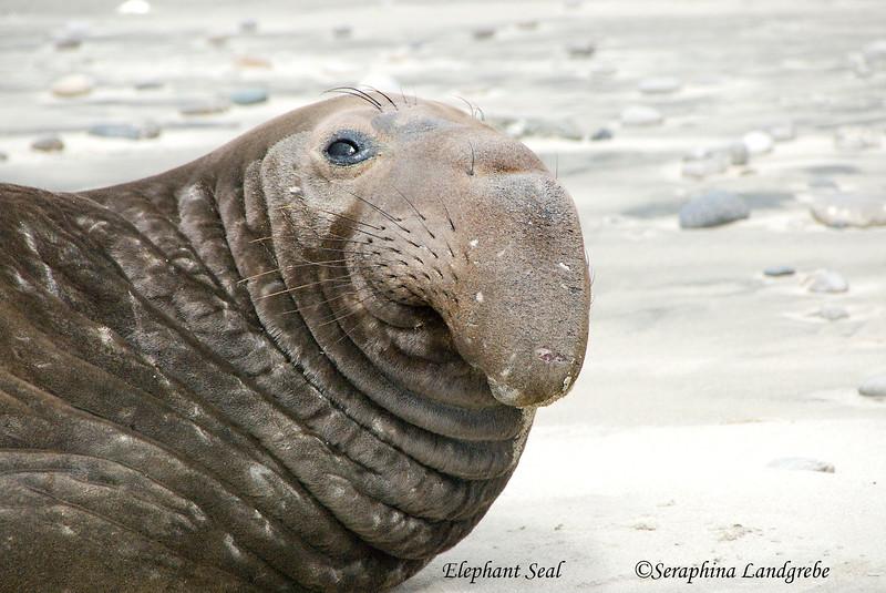 _DSC0483Elephant Seal.jpg
