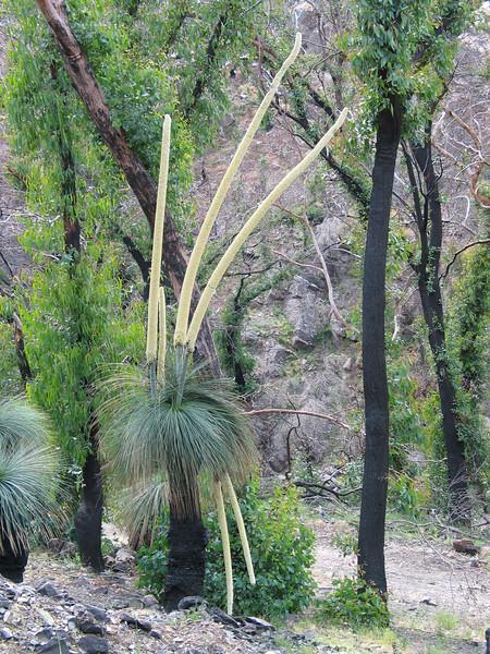 Xanthorrhea australis / Grass Tree