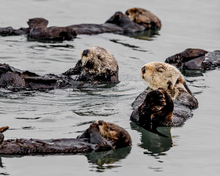 Sea Otters Rafting