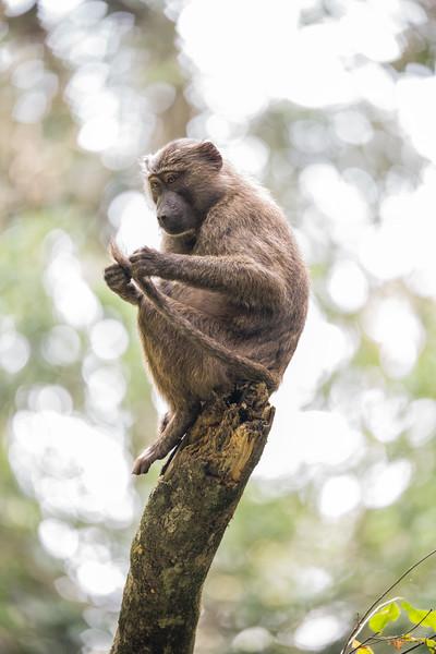 Uganda_T_Chimps-1464.jpg