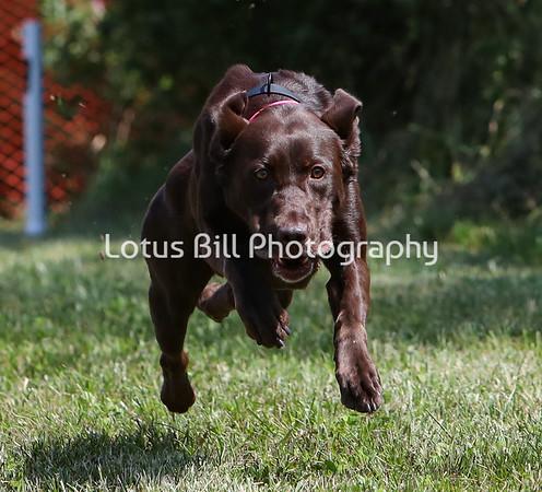 Chocolate Labrador SR