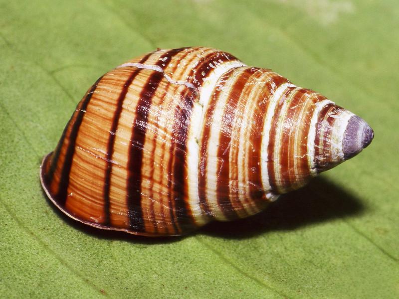 Partulina tesselata (Achatinellidae), Molokai