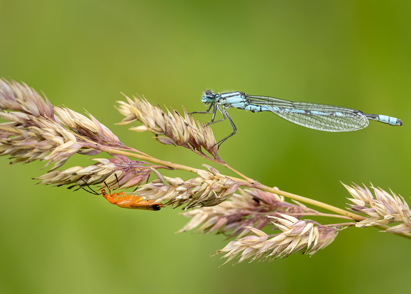 Common blue damselfly and Common red soldier beetle