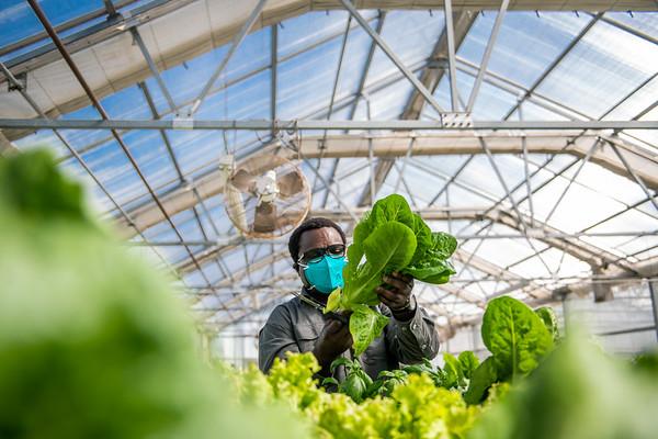 M21063- Greenhouse, Lettuce Harvesting