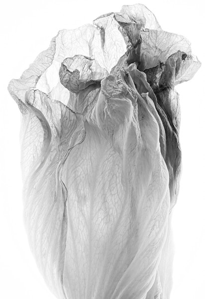 hibiscus-study-04.jpg