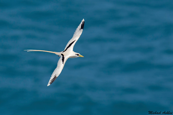 White-tailed Tropicbird (Rare tropical Vagrant)