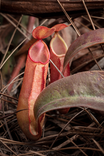 Nepenthes smilesii at Phu Kradueng National Park (Thai: อุทยานแห่งชาติภูกระดึง) in Loei Province, Thailand.