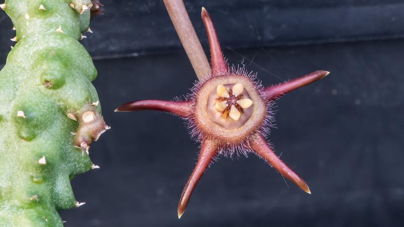 Duvalia caespitosa subsp. pubescens