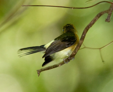 Sulfur-rumped Flycatcher
