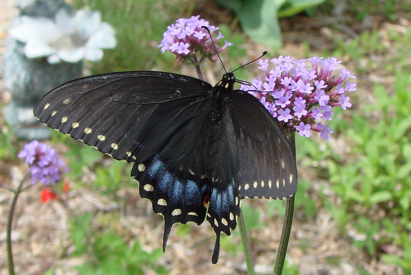 Black Swallowtail (Papilio polyxenes) female.  TX: Tarrant Co. (Duhons' Fort Worth yard), 7 May 2007.