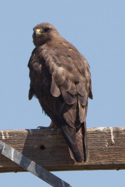 Swainson's Hawk dark morph adult (10) at Firebaugh, CA (07-18-2009)