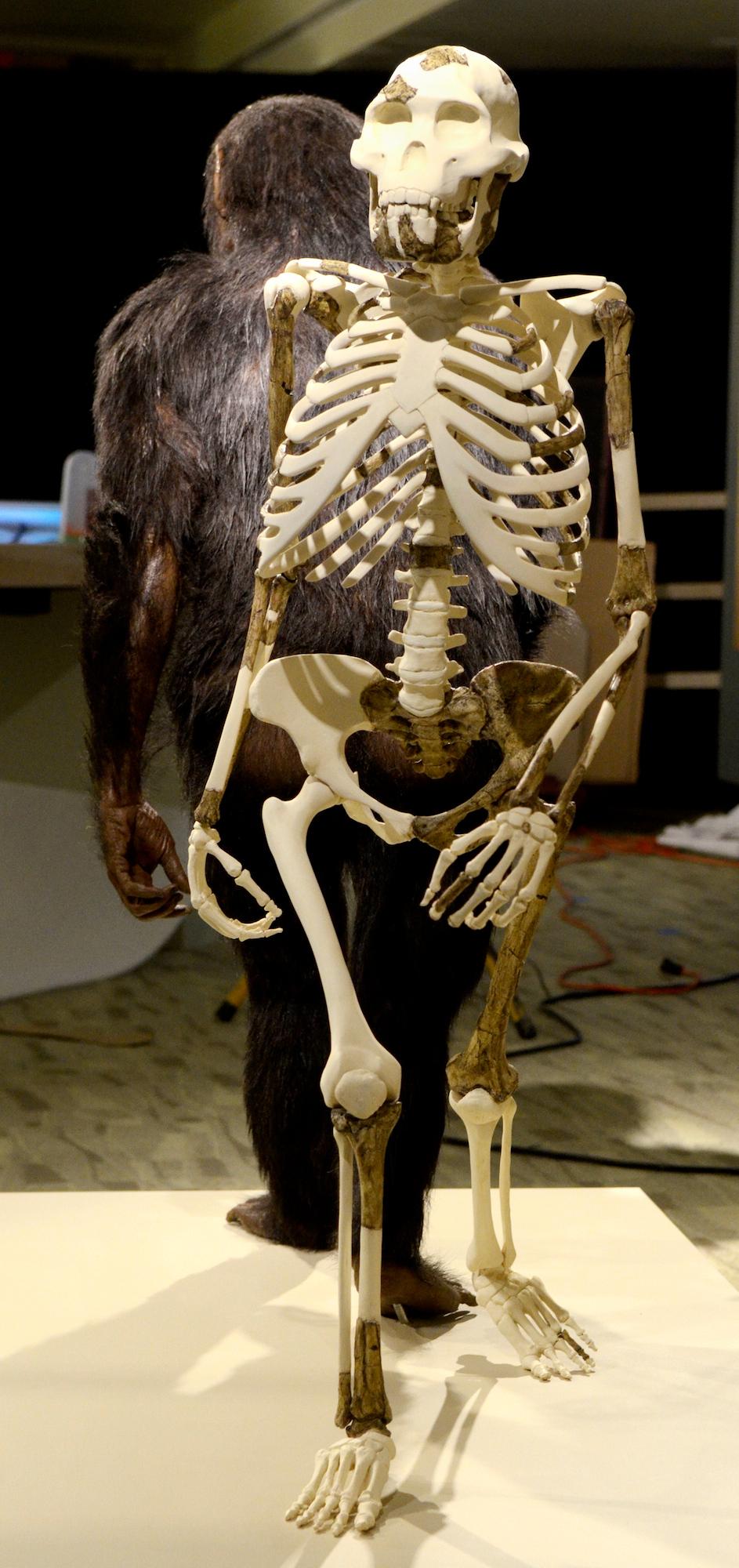 . Jeff Forman/JForman@News-Herald.com A skeletal mount of Lucy by museum artisans Nicole Dobrinic and Carl Jara.