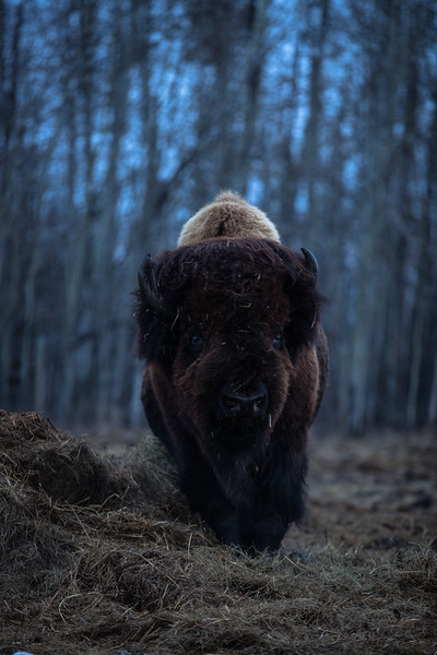AHP171212_buffalo1431.jpg