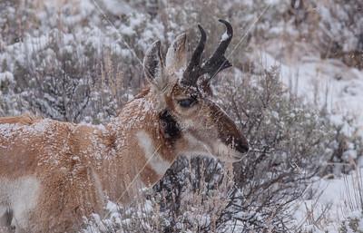 Antelope/Pronghorn