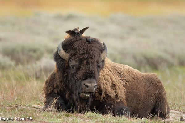 Yellowstone May 2015