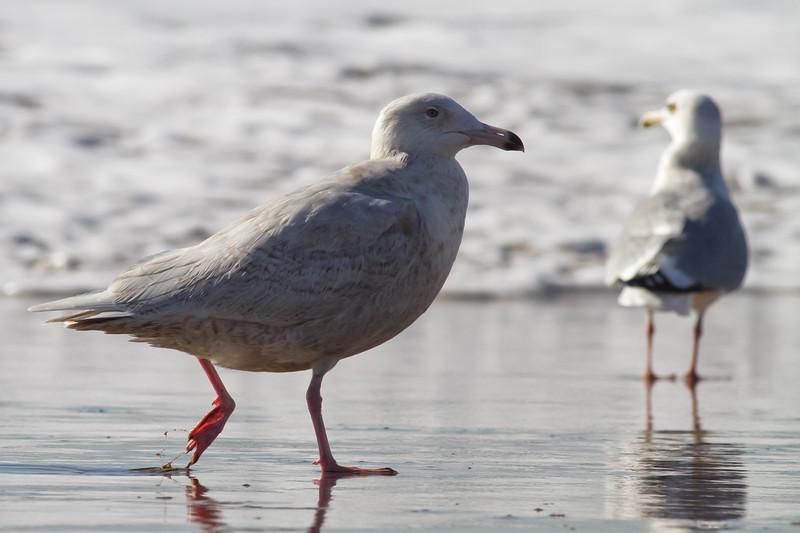Glaucous-Gull-2011-01-2265.jpg