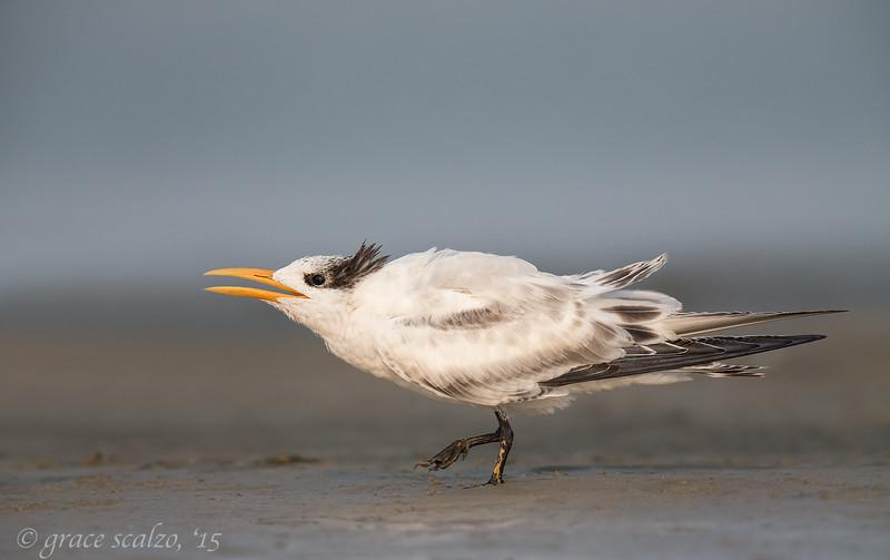 Royal tern Juvenile begging_D0O0504.jpg