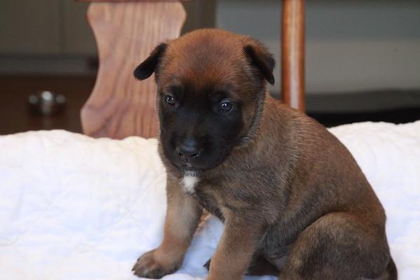 Puma KB puppies 3 weeks 1 day old