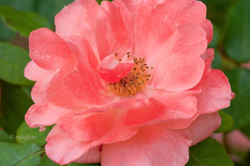 June 5_Coral Rose_4172.jpg
