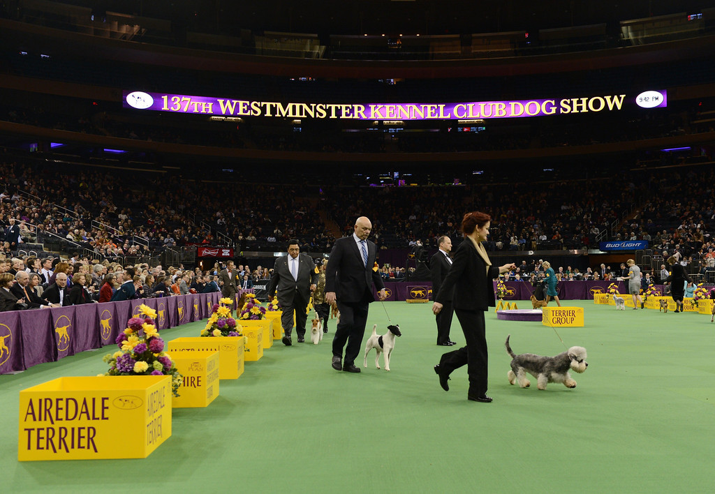. Dogs compete in the Terrier Group during the Westminster Kennel Club Dog Show February 12, 2013 at Madison Square Garden in New York.  STAN HONDA/AFP/Getty Images