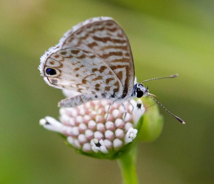 cassius blue