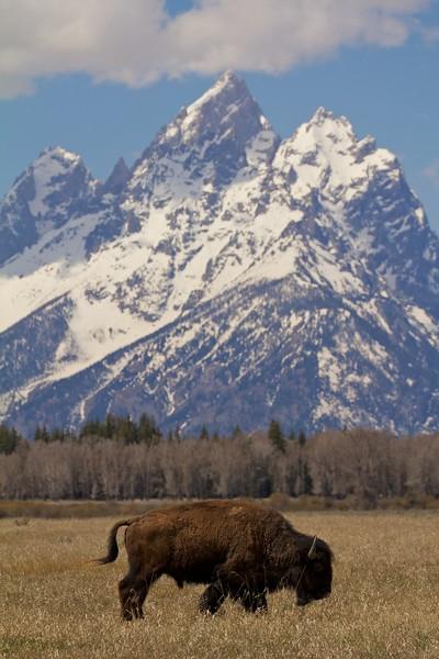 bison&tetons 132.jpg