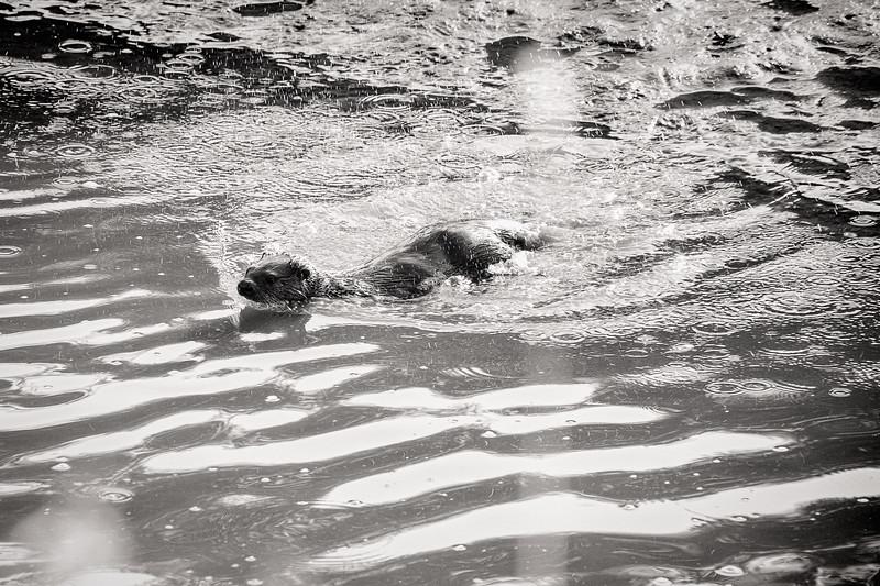 River Otter at Spencer Island Park, Everett.