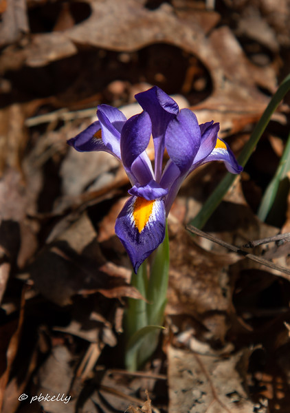 Very dark  solitary Dwarf Iris along the path.