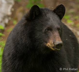Black Bear (with Mosquitoes)