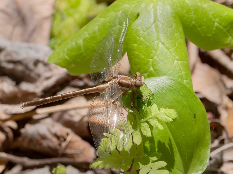 Ashy Clubtail (Phanogomphus lividus), teneral male
