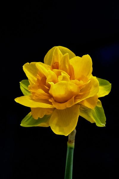 Daffodils032819-297-Edit-2.jpg