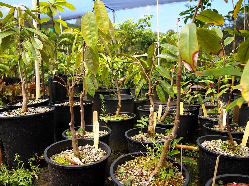 Durian-seedlings-at-Frankie's-Nursery.jpg