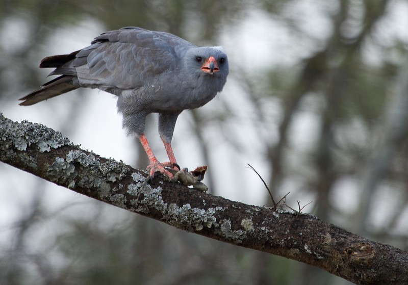 Goshawk with lizard