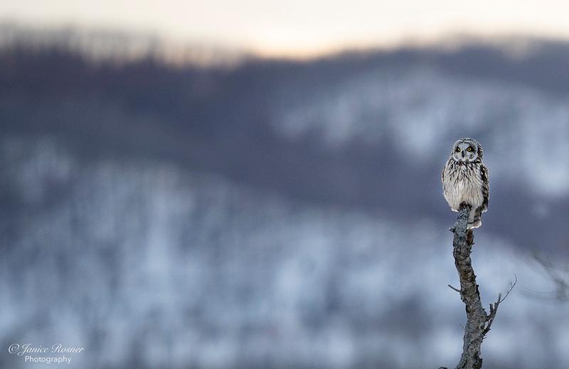 Ural Owl on Post