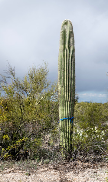 BR - Saguaro With Blue Ribbon #2